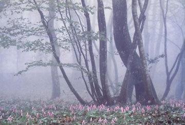 「朝もやに咲く」 寺尾美代子さん (福井市)