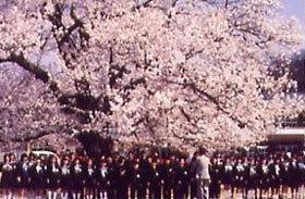 「桜の木の下で」 辻 弘司さん (敦賀市)