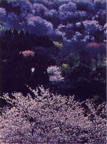 「神子の桜模様」 三上彰さん (福井市)