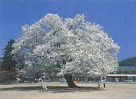 「校庭の桜」 野口幸子さん (福井市)